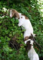 blog.goats10