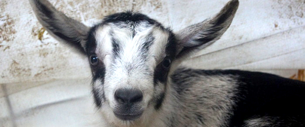 babygoat.blog