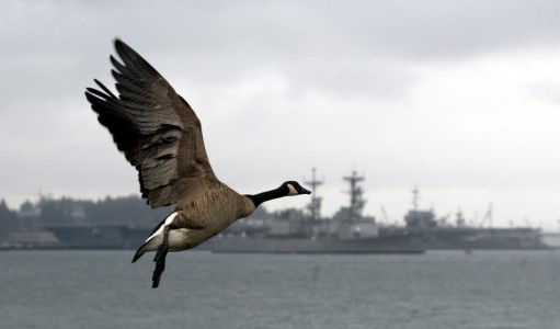 0127_Canada goose by ships 2