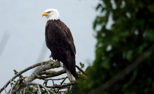 WA Eagle