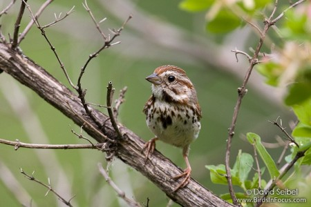 The Song Sparrow lives year-round in the Northwest.