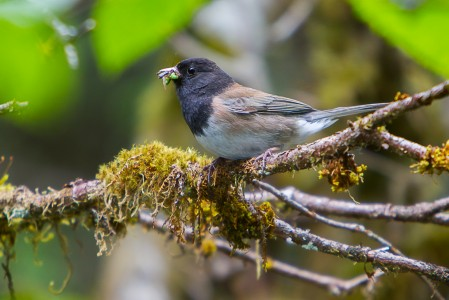 The Dark-eyed Junco has been a research subject in many ecological, behavioral and physiological studies.