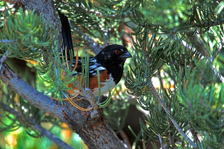 Spotted Towhees almost exclusively forage on the ground.