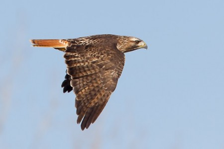 Contributed photo Red-tailed hawks are a common year-round resident throughout much of America's lower 48 and Mexico.