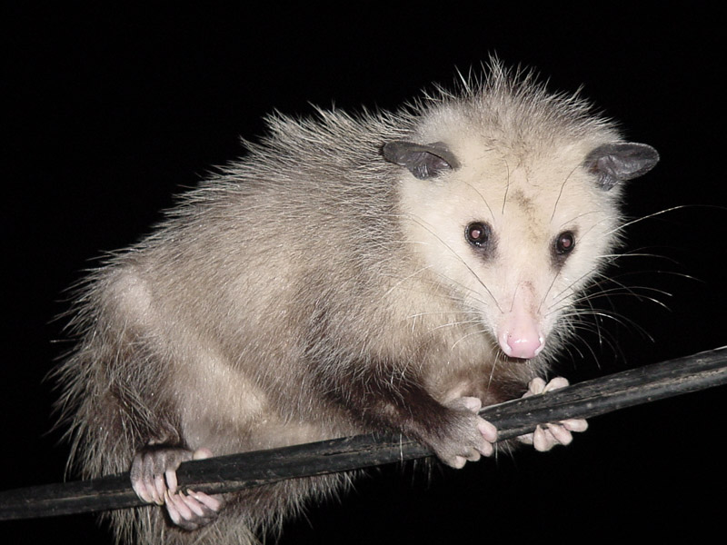 http://pugetsoundblogs.com/bremertonbeat/files/2008/10/possum.jpg