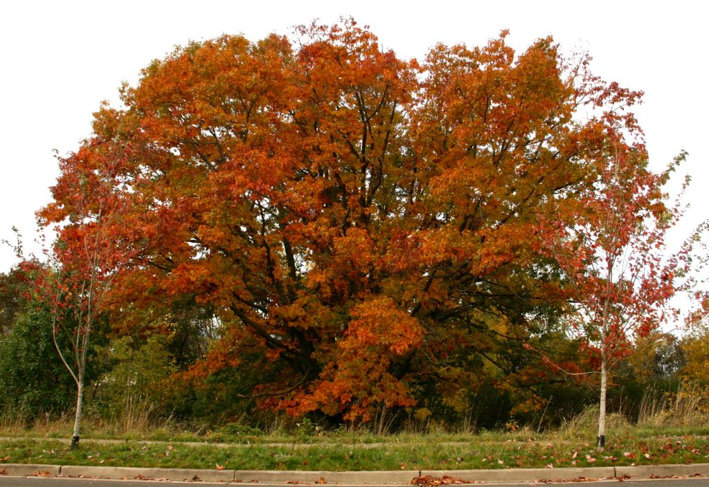Oak Tree at Eastpark.
