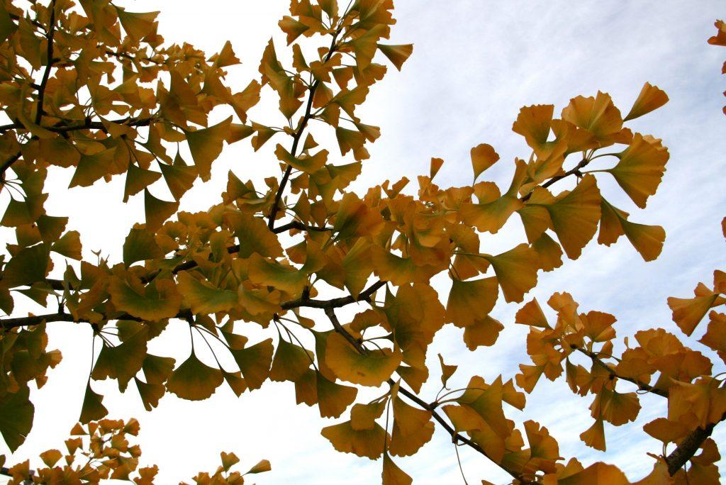 A gingko tree in Eastpark.