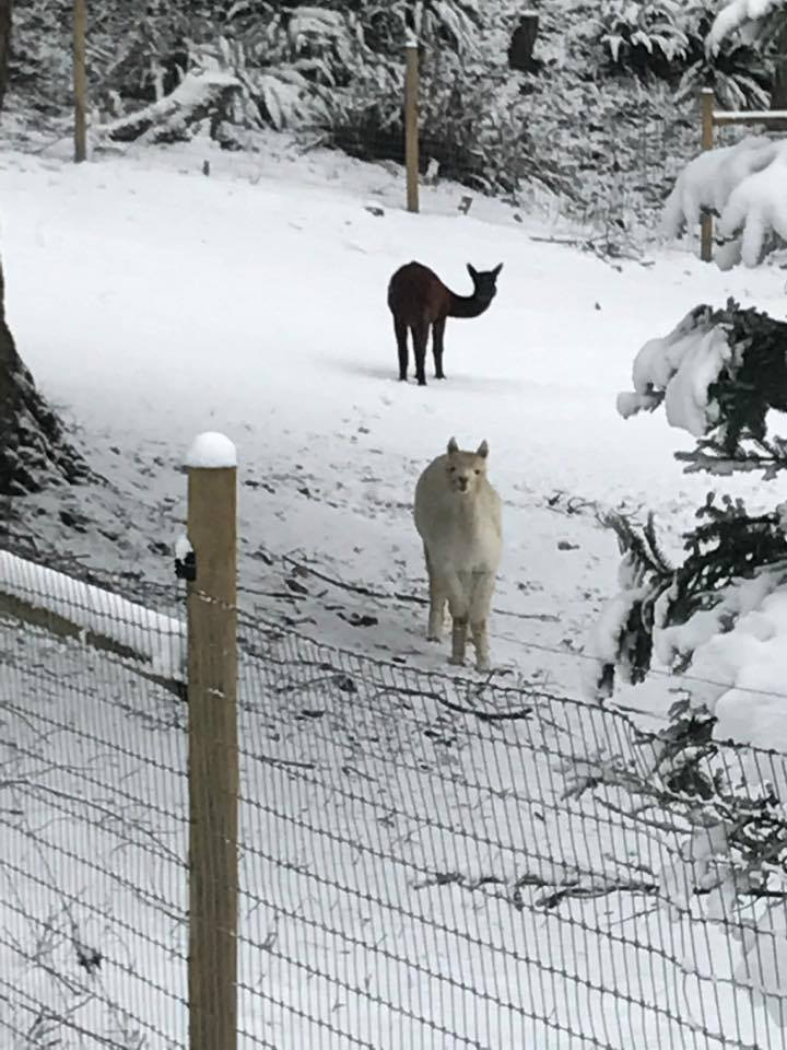 Tracy Kendall in Port Orchard ... llamas!