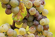 220px-Botrytis_riesling