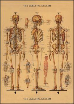Cavallini Skeleton.