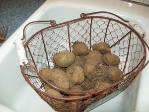 The last potatoes