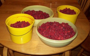 Raspberries - fresh picked!