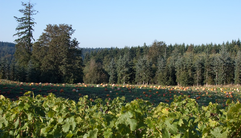 Pumpkins-and-Vines2