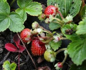 Marshall Strawberry
