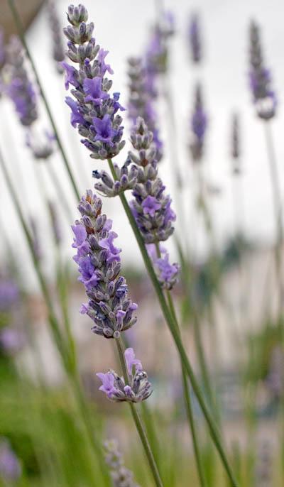 lavender_web