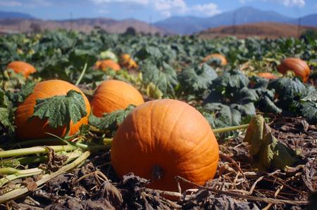 PumpkinPatch15LR