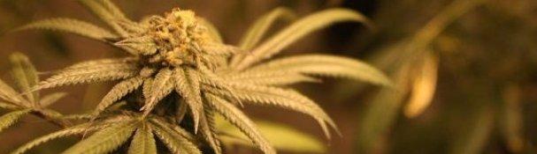 Marijuana09_6661027_ver1.0_640_480