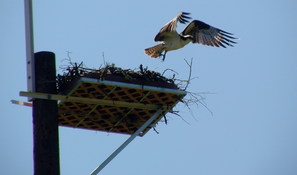 A osprey takes flight Monday from its new nesting platform at Strawberry Fields in Poulsbo.