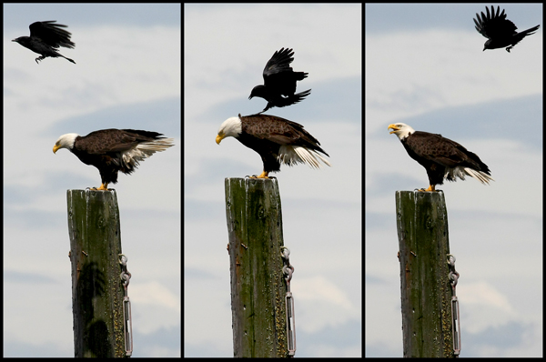 An eagle is pestered by a raven in Hansville. (MEEGAN M. REID / KITSAP SUN)
