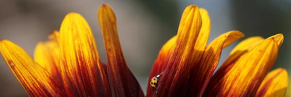 Wa Ladybug