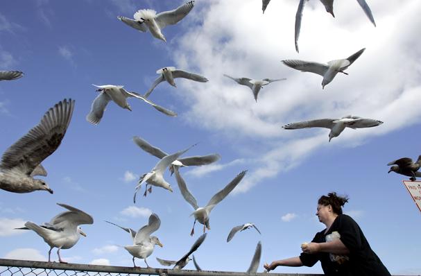 Gull feed
