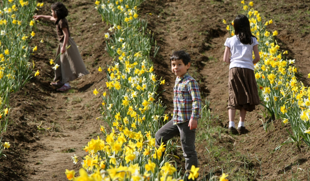 Noah Santos, 5, steps over a row of dafodils while picking the flowers with his sisters Naomi, 6, (left) and Sophia, 8, (right) at the Santos Family U-Pick Farm in Bremerton. MEEGAN M. REID | KITSAP SUN