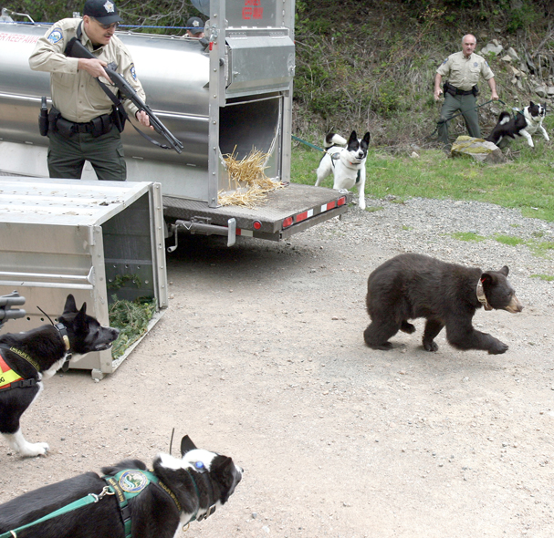 Washington State Department of Fish and Wildlife officers help a black bear escape from a cage in the Central Cascades as their Karelian bear dogs get ready for the chase on June 10. 2011. (LARRY STEAGALL / KITSAP SUN)