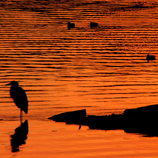 A blue heron wades into the shallow water at Old Sawmill Park in Silverdale,as the setting sun reflects on the water. (LARRY STEAGALL | KITSAP SUN)
