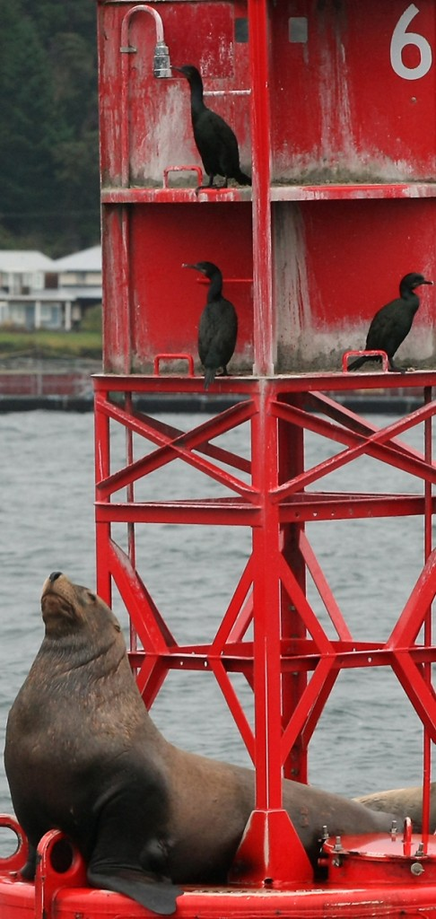 A sea lion and a trio of cormorants hang out on one of the navigational buoys along Bainbridge Island. (MEEGAN M. REID/KITSAP SUN)