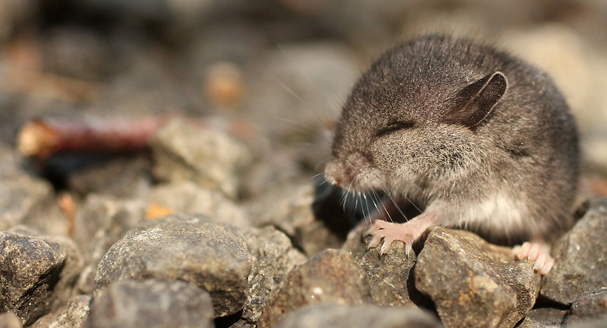 A small mouse sits in the early morning sunshine in a gravel driveway in Brownsville. MEEGAN M. REID / KITSAP SUN