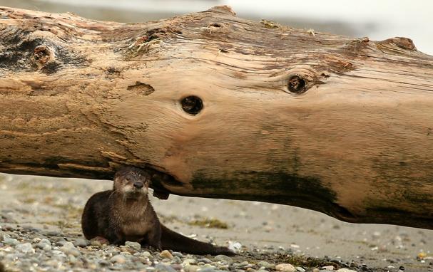 WA Otter