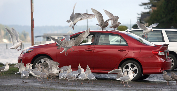 A car and driver are bombarded with a flock of seagulls on Bay Street in Port Orchard on Tuesday. (LARRY STEAGALL / KITSAP SUN)