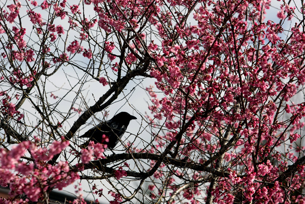 A crow sits in a flowering tree Friday as the signs of spring begin to appear. The tree is at Mountain View Middle School in Bremerton. (LARRY STEAGALL / KITSAP SUN)