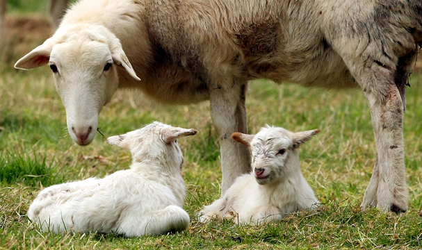 A pair of lambs relax in the grass as their mother keeps a watchful eye over them in a pasture on Bainbridge Island, Wash. on Tuesday, March 26, 2013. (KITSAP SUN / MEEGAN M. REID)