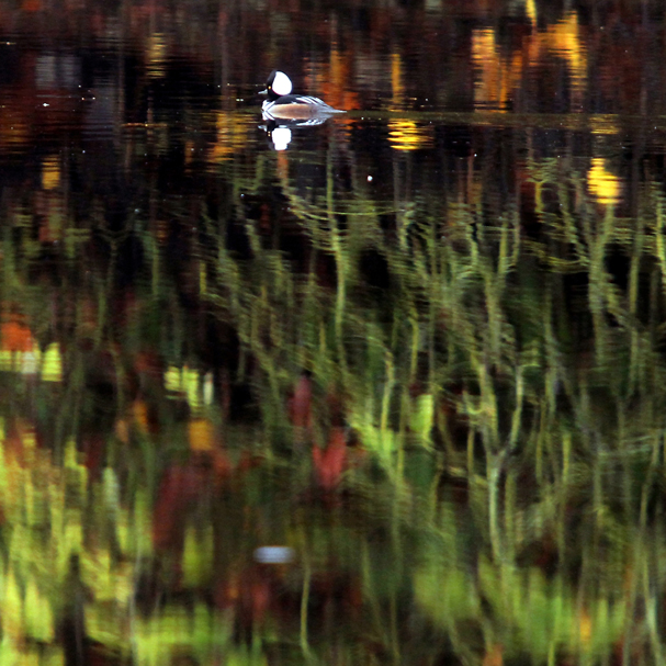 Leaves are reflected on the surface of Olalla Lagoon as a hooded merganser paddles through the water on Thursday, November 1, 2012 in Olalla, Washington. (MEEGAN M. REID / KITSAP SUN)