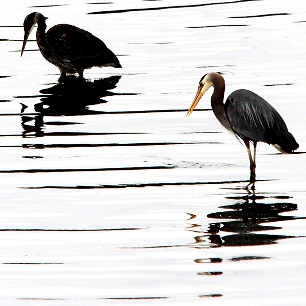 A pair of herons fish along the shore at the boat launch on a rainy Tuesday, May 22, 2012 in Kingston. (MEEGAN M. REID / KITSAP SUN)