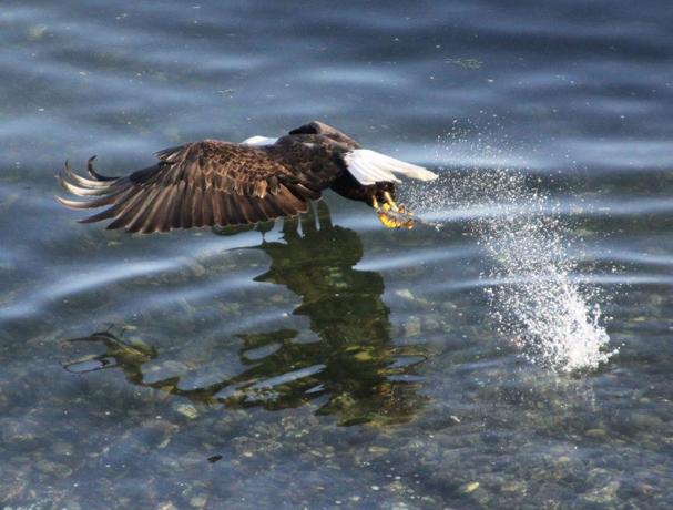 eaglefish1