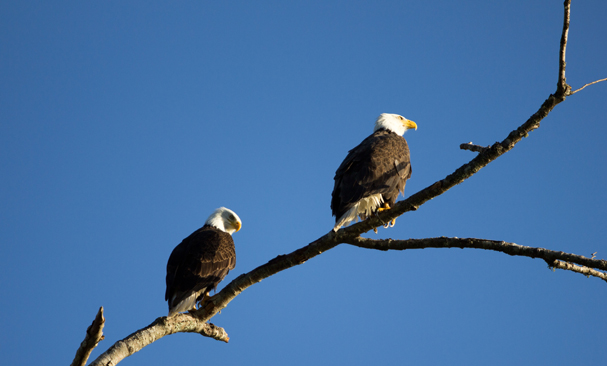 """Spring Eagles"" by Justin Sharrett"