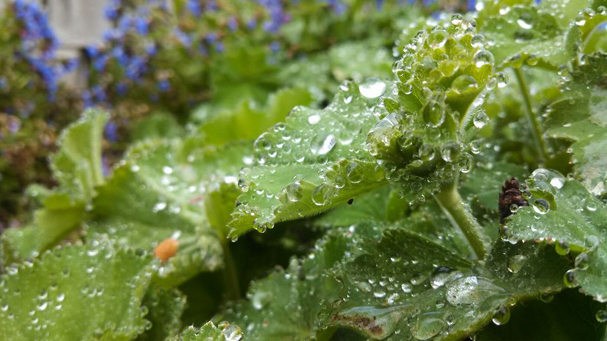Lady's Mantle and rain drops by Janet Neill