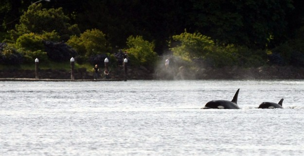 A pair of Orcas surface in front of Evergreen Rotary Park in Bremerton on Thursday, June 5, 2013. (MEEGAN M. REID / KITSAP SUN)