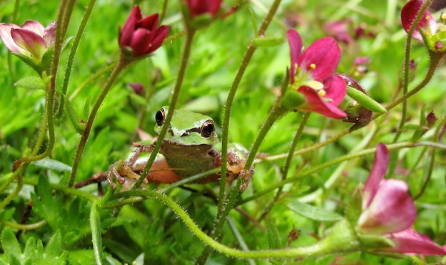 A tree frog clings to the stems of a flowering plant at a home in Brownsville on Monday, June 10, 2013. (MEEGAN M. REID / KITSAP SUN)