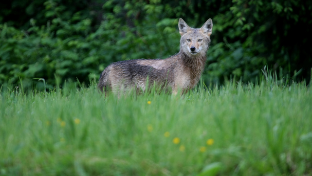 A coyote stands in a field off Day Rd. on Bainbridge Island Wednesday. LARRY STEAGALL / KITSAP SUN