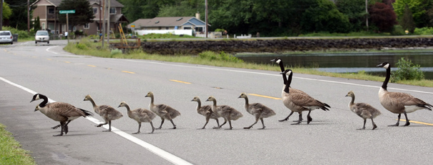 Geese and goslings form an orderly line as they cross Beach Drive in Port Orchard on Wednesday. LARRY STEAGALL / KITSAP SUN