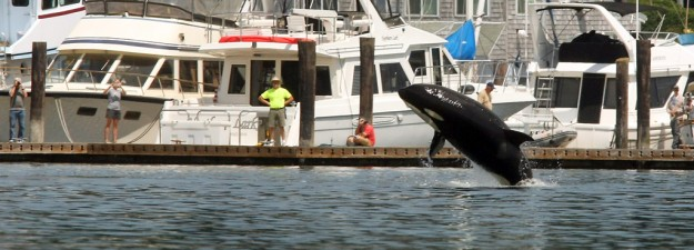 An orca breaches in front of onlookers lining the docks of the Liberty Bay Marina on Thursday, July 18, 2013. (MEEGAN M. REID / KITSAP SUN)