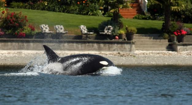 An orca swims near the shore as it heads out of Liberty Bay on Thursday, July 18, 2013. (MEEGAN M. REID / KITSAP SUN)