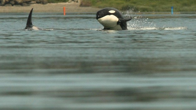 An orca breaches as the pod swims through Poulsbo's Liberty Bay on Thursday, July 18, 2013. (MEEGAN M. REID / KITSAP SUN)