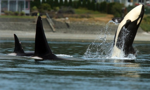 A pod of transient orcas visit Liberty Bay on Thursday, July 18, 2013. (MEEGAN M. REID / KITSAP SUN)