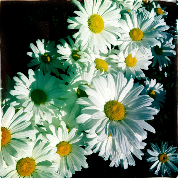 """A Bunch of Daisies"" by Meegan M. Reid"