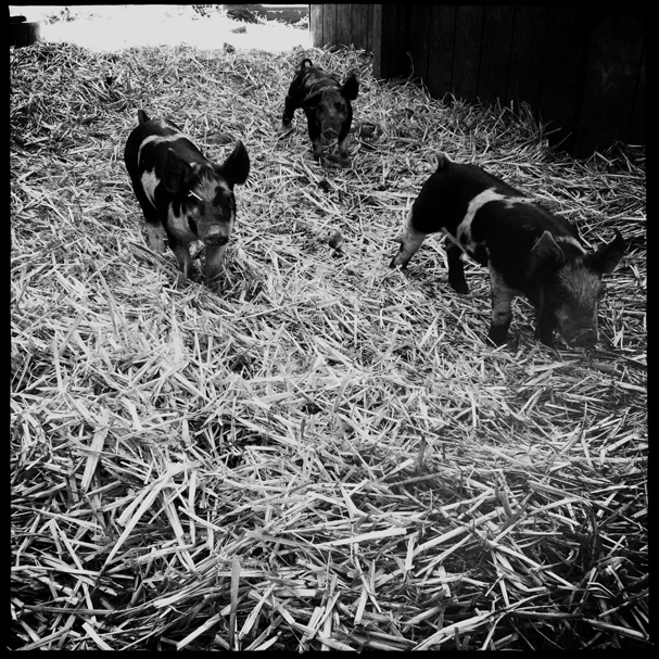 """A Herd of Piglets"" by Meegan M. Reid"