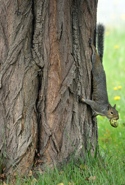 A squirrel hangs down from a tree while it's mouth is full of a treat on Winfield Ave. in Manette Friday. (LARRY STEAGALL / KITSAP SUN)
